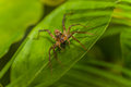Spider on green leaf eye contact with Stock Photo