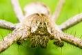 Spider Head Royalty Free Stock Photo