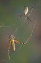 Spider and hopper in web Stock Image