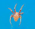 Spider isolated on blue background Royalty Free Stock Photo