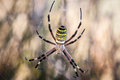 Spider in its web waiting for hunting great detail of his mouth and paws Stock Image