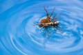 Spider killing wasp action shots of a a by drowning it in a swimming pool in costa rica Stock Images