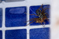 Spider killing wasp action shots of a a by drowning it in a swimming pool in costa rica Royalty Free Stock Photos