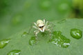 Spider on leaf with water drops Royalty Free Stock Photo