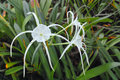 Spider lily flower the close up of scientific name hymenocallis speciosa Stock Photography
