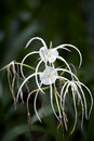 Spider lily (Hymenocallis sp.) Royalty Free Stock Photo