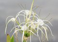 Spider Lily (Hymenocallis speciosa) Royalty Free Stock Photo