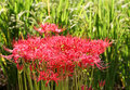 Spider lily red lycoris radiata cluster amaryllis higanbana Royalty Free Stock Images