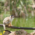 Spider Monkey Stock Images