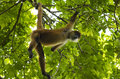 Spider monkey costa rica spanish mono arana in in the rain forest hanging onto branches by its arms and tail Royalty Free Stock Photo