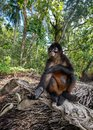 Spider Monkey in Costa Rica Royalty Free Stock Photo