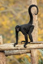 Spider monkey view of a on logs Stock Photography