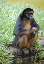 Spider monkey in zoo in Iquitos, Peru Royalty Free Stock Photo