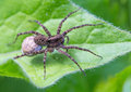 Spider mother with an egg Stock Photography