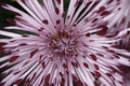 Spider mum flower Royalty Free Stock Photo