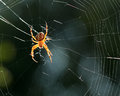 Spider in the net closeup view of a Royalty Free Stock Photo