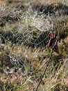 Spider net with morning dew, Lithuania Royalty Free Stock Photo