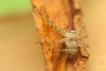 Spider philodromus small hairy spider ruthless predator Royalty Free Stock Images