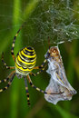 Spider prey argiope bruennichi with his Royalty Free Stock Photo