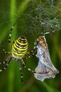 Spider prey argiope bruennichi with his Royalty Free Stock Photo