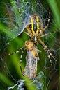 Spider prey argiope bruennichi with his Stock Images