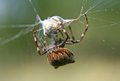 Spider and prey orb wrapping up her Royalty Free Stock Photo