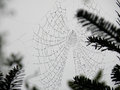 Spider's Web in Pine Grove Royalty Free Stock Photo