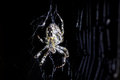 Spider and spider`s web on black background. Arachnid climbing the web. Extreme close up macro image. Royalty Free Stock Photo