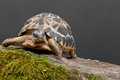 Spider tortoise a close up of acute Stock Photo
