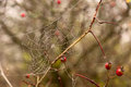 Spider web on a branches of a wet tree in autumn park Stock Image