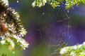 Spider web close up between pine trees lid by morning light Royalty Free Stock Photography