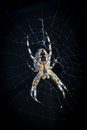 Spider in web Royalty Free Stock Photo