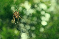 Spider on the web over green background in forest Stock Photo