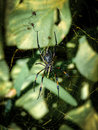 Spider in the web with small spiders Royalty Free Stock Photo