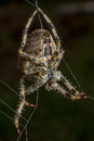 Spider on the web staring its Stock Image