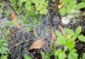 Spider web with water drops. Royalty Free Stock Photo