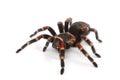 Spider on white background Royalty Free Stock Photo