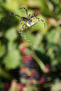 Spider wrapping hopper in nature Royalty Free Stock Photography