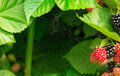 Spiderweb on blackberry leaves without spider Royalty Free Stock Image
