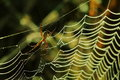 Spiderweb spider hunting insects on Royalty Free Stock Photography