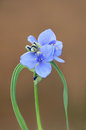 Spiderwort blossom closeup plant or tradescantia in full bloom Stock Photos