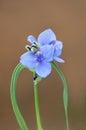 Spiderwort blossom closeup plant or tradescantia in full bloom Stock Photos