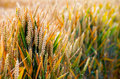 Spike field dreamy high detailed photo Royalty Free Stock Photography