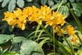 Spike of yellow orchids cymbidium nonna goldilocks Royalty Free Stock Photography