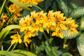 Spike of yellow orchids cymbidium nonna goldilocks Royalty Free Stock Photo