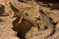 Spiked Reptiles Royalty Free Stock Photo