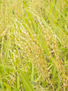 Spikelet of rice close up Stock Photography