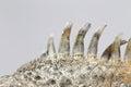 Spikes on Back of Green Iguana Royalty Free Stock Photo