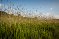 Spikes of grass with blue sky Royalty Free Stock Photo
