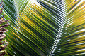 Spikes of Palm Royalty Free Stock Photography